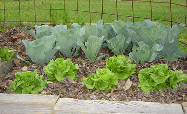 lettuce and cabbage homegrown